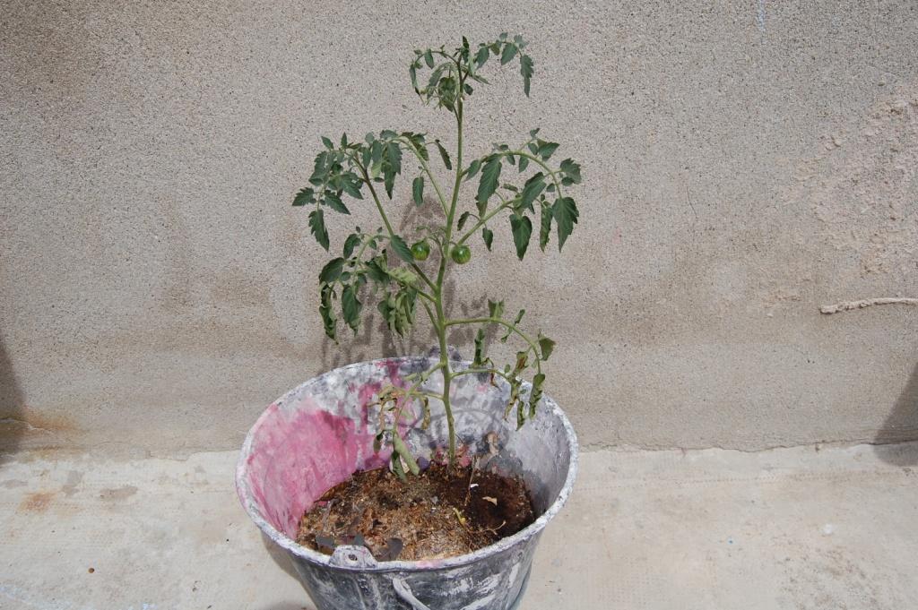 [Image: tomate.JPG]